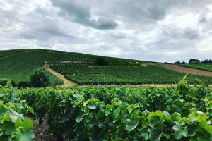Walking through vineyards of Aÿ (Champagne region, France)